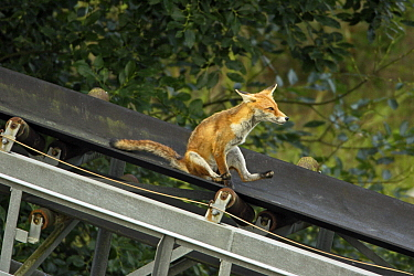 Red Fox (Vulpes vulpes) sliding down conveyor belt, Lower Saxony, Germany  -  Duncan Usher