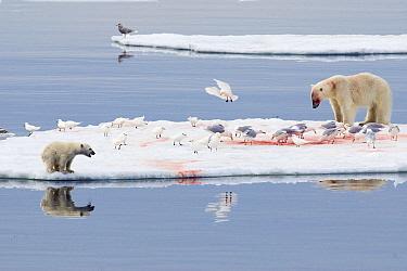 Polar Bear (Ursus maritimus) with young cub feeding at kill surrounded by Ivory Gulls (Pagophila eburnea), Svalbard, Norway  -  Rhinie van Meurs/ NIS