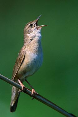 Savi's Warbler (Locustella luscinioides) singing, Biebrza, Poland  -  Grzegorz Lesniewski/ NIS