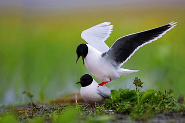 Little Gull (Hydrocoloeus minutus) pair mating, Biebrza, Poland  -  Grzegorz Lesniewski/ NIS