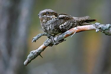 Eurasian Nightjar (Caprimulgus europaeus), Bialowieza Forest, Poland  -  Grzegorz Lesniewski/ NIS