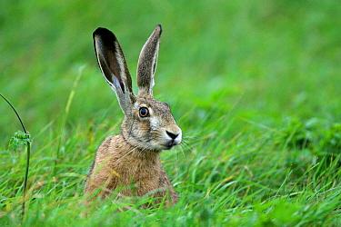 European Hare (Lepus europaeus), Biebrza, Poland  -  Grzegorz Lesniewski/ NIS