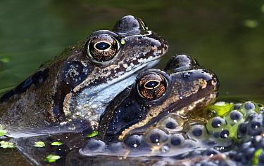 Common Frog (Rana temporaria) pair in amplexus, Netherlands  -  Jasper Doest