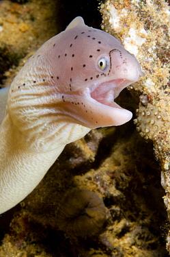 Geometric Moray (Gymnothorax griseus), Red Sea, Egypt  -  Dray van Beeck/ NiS