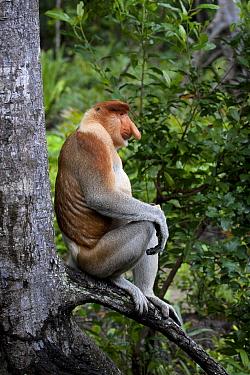 Proboscis Monkey (Nasalis larvatus) male, Labuk Bay, Sabah, Borneo, Malaysia  -  Michiel Vaartjes/ NiS