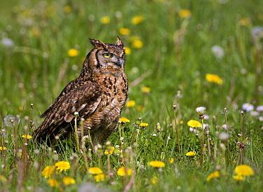 Spotted Eagle-Owl (Bubo africanus), Netherlands  -  Michiel Vaartjes/ NiS