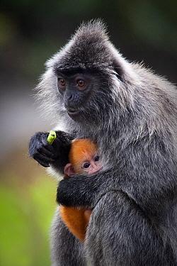 Silvered Leaf Monkey (Trachypithecus cristatus) with baby, Labuk Bay, Sabah, Borneo, Malaysia  -  Michiel Vaartjes/ NiS