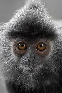 Silvered Leaf Monkey (Trachypithecus cristatus), Labuk Bay, Sabah, Borneo, Malaysia  -  Michiel Vaartjes/ NiS
