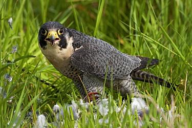 Peregrine Falcon (Falco peregrinus) feeding on a pigeon, Netherlands  -  Michiel Vaartjes/ NiS