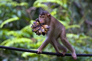 Long-tailed Macaque (Macaca fascicularis) with banana cluster, Labuk Bay, Sabah, Borneo, Malaysia  -  Michiel Vaartjes/ NiS