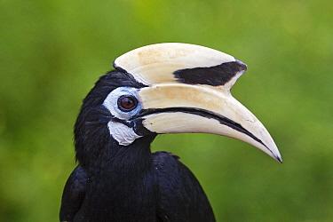 Oriental Pied-Hornbill (Anthracoceros albirostris), Labuk Bay, Sabah, Borneo, Malaysia  -  Michiel Vaartjes/ NiS