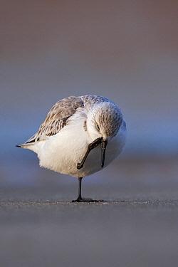 Sanderling (Calidris alba) scratching, Scheveningen, Zuid-Holland, Netherlands  -  Michiel Vaartjes/ NiS
