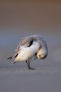 Sanderling (Calidris alba) preening, Scheveningen, Zuid-Holland, Netherlands  -  Michiel Vaartjes/ NiS