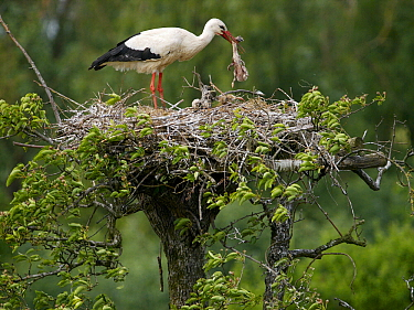 White Stork (Ciconia ciconia) parent with two chicks in nest eating dead chick, Netherlands  -  Melvin Redeker / Buiten-beeld