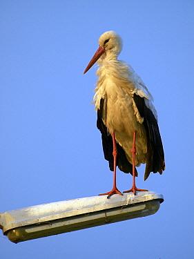 White Stork (Ciconia ciconia) on street light, Netherlands  -  Melvin Redeker / Buiten-beeld