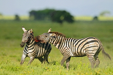 Zebra (Equus quagga) stallions fighting, Serengeti National Park, Tanzania. Sequence 1 of 8  -  Winfried Wisniewski