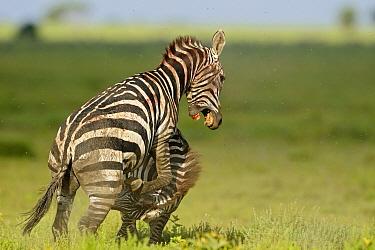 Zebra (Equus quagga) stallions fighting, Serengeti National Park, Tanzania. Sequence 5 of 8  -  Winfried Wisniewski