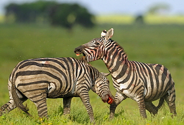 Zebra (Equus quagga) stallions fighting, Serengeti National Park, Tanzania. Sequence 8 of 8  -  Winfried Wisniewski