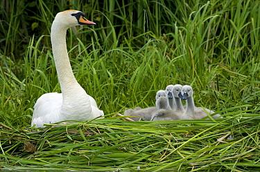 Mute Swan (Cygnus olor) parent with cygnets in nest, Netherlands  -  Michiel Schaap/ Buiten-beeld