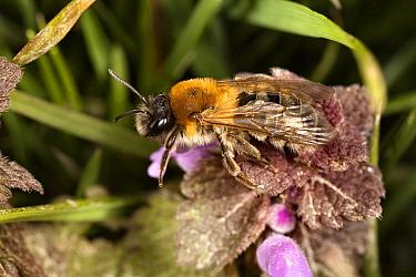 Plasterer Bee (Colletes cunicularius) male, Crapoel, Limburg, Netherlands  -  Bert Pijs/ NIS