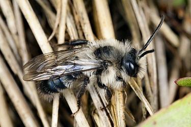 Grey Mining Bee (Andrena cineraria) male, Crapoel, Limburg, Netherlands  -  Bert Pijs/ NIS