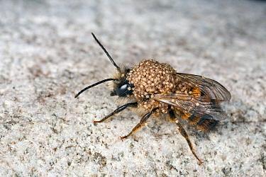 Red Mason Bee (Osmia rufa) male covered with Mites (Chaetodactylus osmiae), Den Helder, Noord-Holland, Netherlands  -  Bert Pijs/ NIS