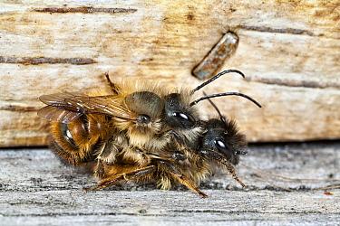 Red Mason Bee (Osmia rufa) pair, Den Helder, Noord-Holland, Netherlands  -  Bert Pijs/ NIS