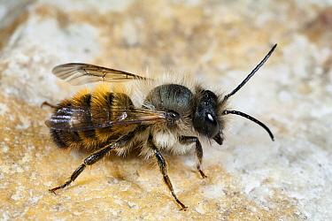 Red Mason Bee (Osmia rufa) male, Den Helder, Noord-Holland, Netherlands  -  Bert Pijs/ NIS