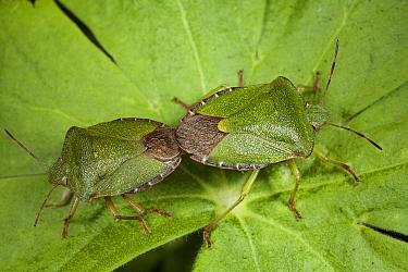 Green Shield Bug (Palomena prasina) pair mating, Den Helder, Noord-Holland, Netherlands  -  Bert Pijs/ NIS