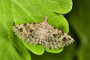 Twenty-plumed Moth (Alucita hexadactyla) on leaf, Den Helder, Noord-Holland, Netherlands  -  Bert Pijs/ NIS