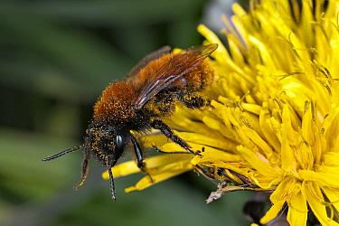 Tawny Mining Bee (Andrena fulva) covered in pollen, Bissen, Limburg, Netherlands  -  Bert Pijs/ NIS