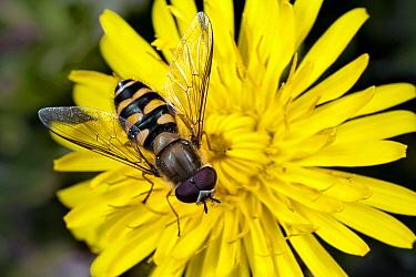 Hoverfly (Syrphus ribesii) male on Dandelion (Taraxacum officinale), Bissen, Limburg, Netherlands  -  Bert Pijs/ NIS