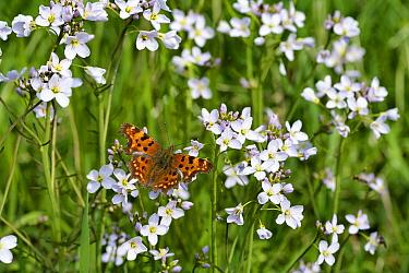 Comma (Polygonia c-album) butterfly on Cuckoo Flower (Cardamine pratensis), Pesaken, Limburg, Netherlands  -  Bert Pijs/ NIS