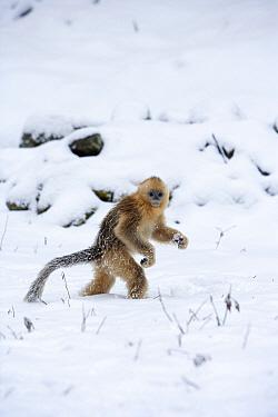 Golden Snub-nosed Monkey (Rhinopithecus roxellana) juvenile walking upright through the snow, Qinling Mountains, China  -  Stephen Belcher