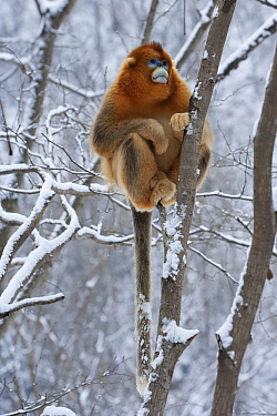 Golden Snub-nosed Monkey (Rhinopithecus roxellana) male in snow-covered tree, Qinling Mountains, China  -  Stephen Belcher