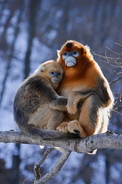 Golden Snub-nosed Monkey (Rhinopithecus roxellana) male and female cuddling, Qinling Mountains, China  -  Stephen Belcher