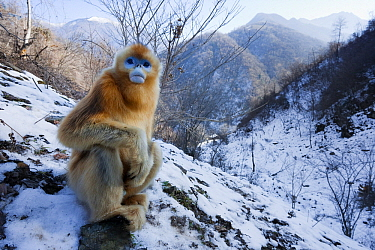 Golden Snub-nosed Monkey (Rhinopithecus roxellana) juvenile, Qinling Mountains, China  -  Stephen Belcher