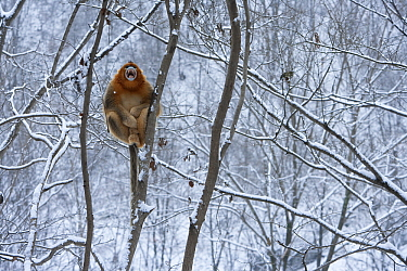 Golden Snub-nosed Monkey (Rhinopithecus roxellana) male calling in snow-covered tree, Qinling Mountains, China  -  Stephen Belcher