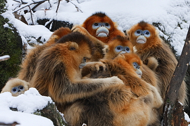 Golden Snub-nosed Monkey (Rhinopithecus roxellana) group huddling and grooming in snow, Qinling Mountains, China  -  Stephen Belcher