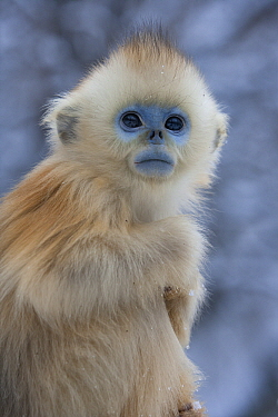 Golden Snub-nosed Monkey (Rhinopithecus roxellana) baby, Qinling Mountains, China  -  Stephen Belcher