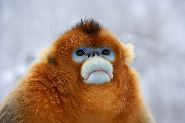 Golden Snub-nosed Monkey (Rhinopithecus roxellana) male in snowfall, Qinling Mountains, China  -  Stephen Belcher