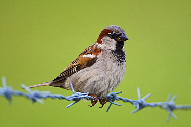 House Sparrow (Passer domesticus) male on barbed wire, Holy Island  -  Michiel Vaartjes/ NiS