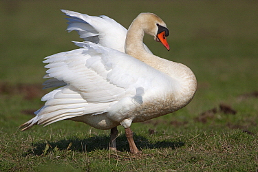 Mute Swan (Cygnus olor), Zuiderwoude, Noord-Holland, Netherlands  -  Joke Stuurman/ NiS