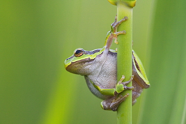 European Tree Frog (Hyla arborea), Hungary  -  Joke Stuurman/ NiS