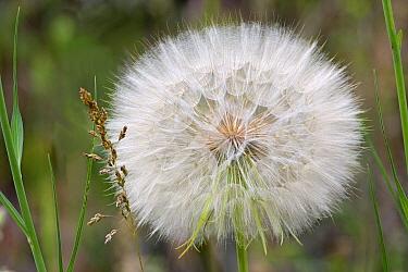 Dandelion (Taraxacum officinale) seedhead, Hungary  -  Joke Stuurman/ NiS