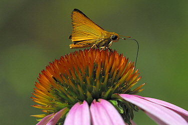 Orange Skipperling (Copaeodes aurantiaca) butterfly feeding on nectar from a coneflower, Blue Skies Prairie Reserve, Kearney, Missouri  -  Philip Friskorn/ NiS