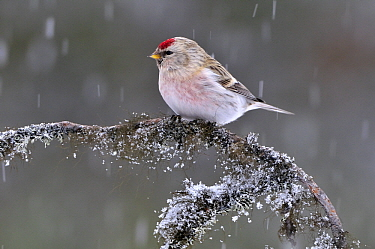 Hoary Redpoll (Carduelis hornemanni) perched on branch during snowfall, Kaamanen, Finland  -  Philip Friskorn/ NiS