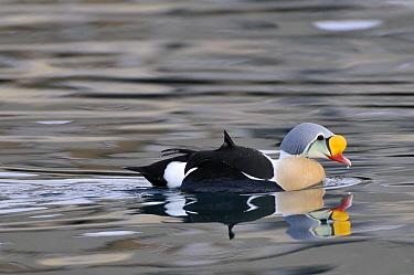 King Eider (Somateria spectabilis) male swimming, Batsfjord, Varanger, Finnmark, Norway  -  Philip Friskorn/ NiS