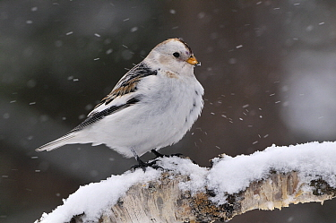 Snow Bunting (Plectrophenax nivalis) male on a snowy branch during snowfall, Kaamanen, Finland  -  Philip Friskorn/ NiS