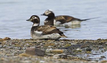 Long-tailed Duck (Clangula hyemalis) pair resting near shore, Svalbard, Norway  -  Otto Plantema/ Buiten-beeld